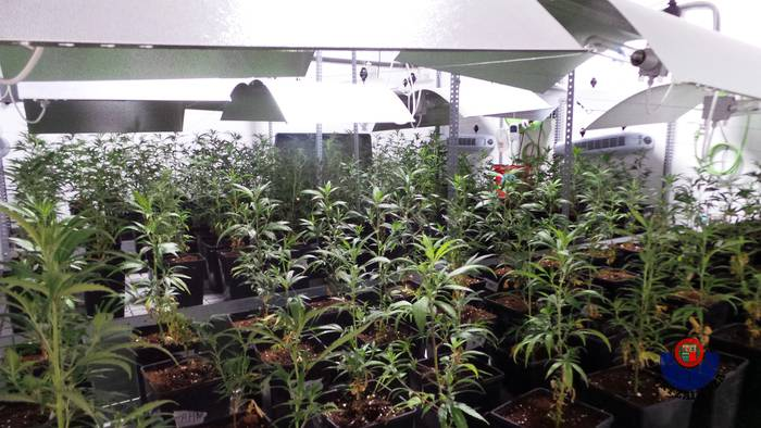 Ertzaintzak 900 marihuana-landare atzeman ditu Erandion