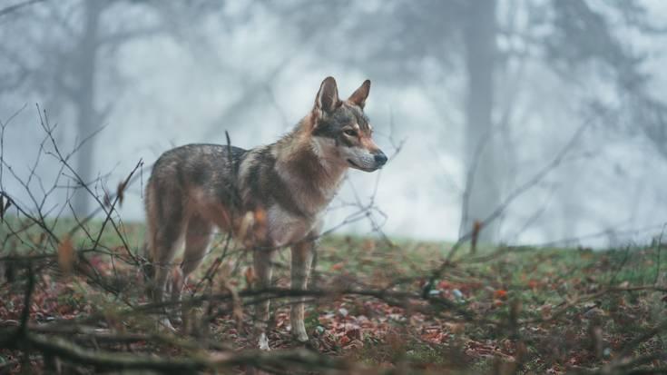 Otso iberiko Canis lupus signatus, babestuta